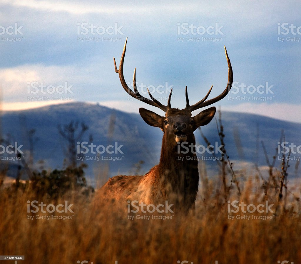 Large Male Elk Rack Horns National Bison Range Charlo Montana stock photo