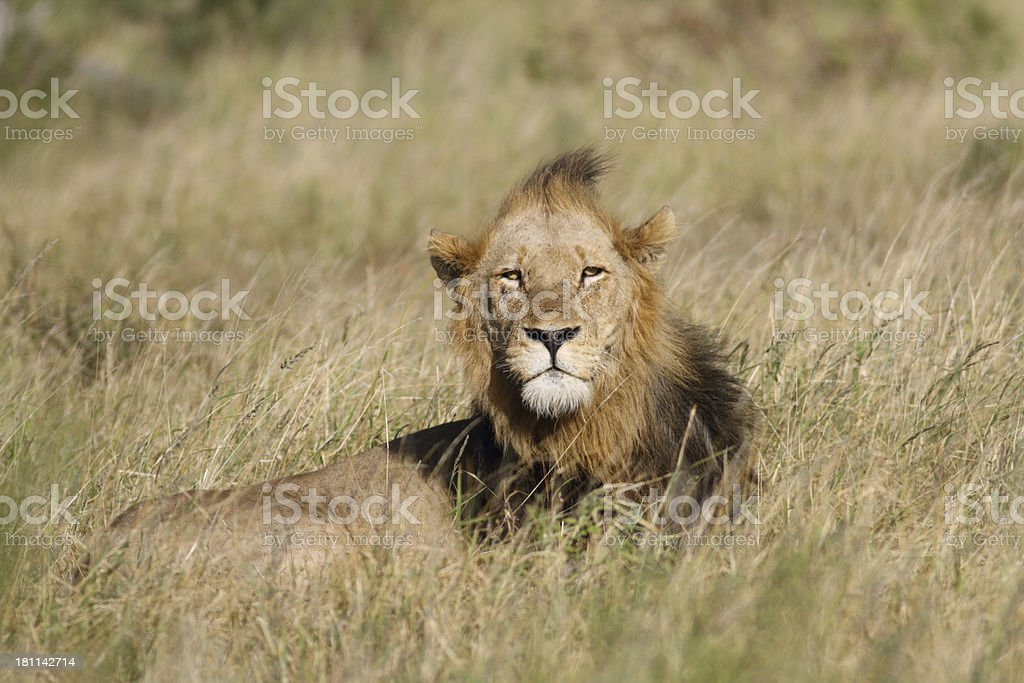 large male lion lying in long grass, head clear royalty-free stock photo