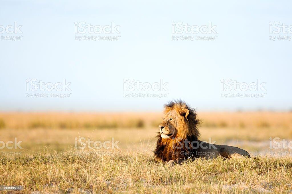 Large male lion stock photo