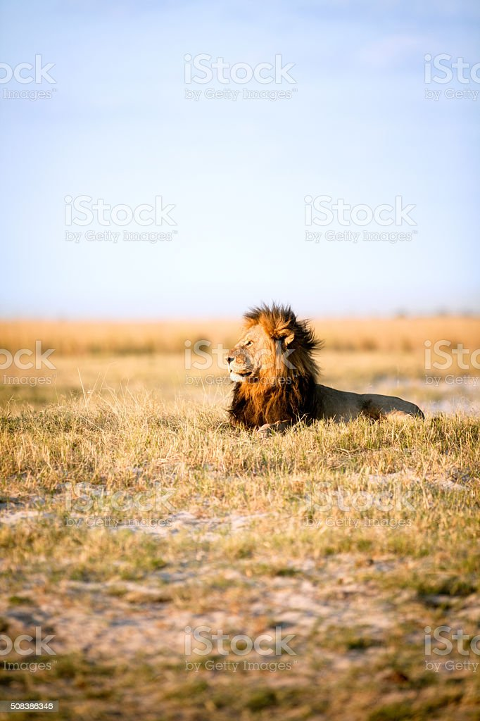 Large male lion stock photo