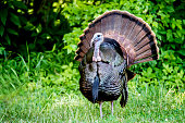Large male turkey spread his tail feathers.