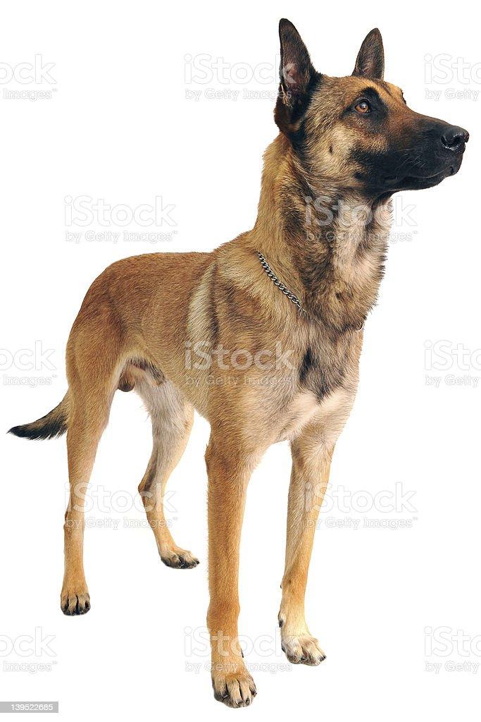 A large malinois dog on a white background stock photo