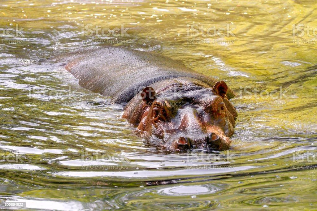 large mammal of a wild animal, hippopotamus in water stock photo