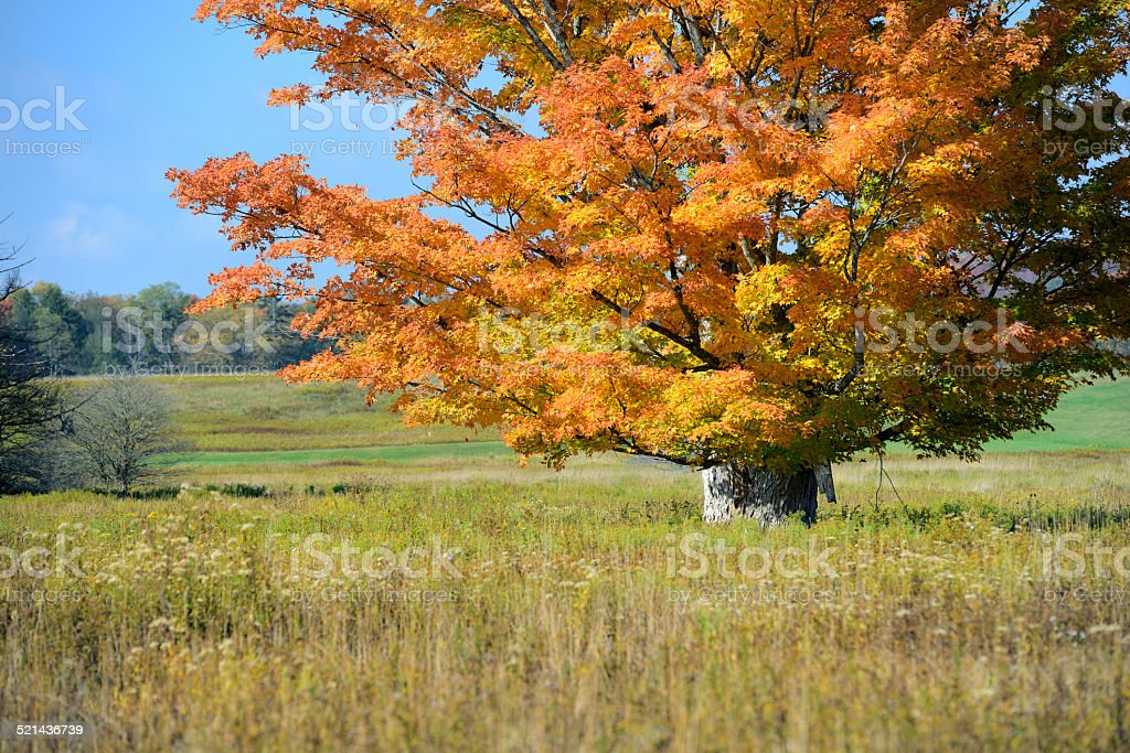 Large Maple Tree in Vivid Fall Colors stock photo