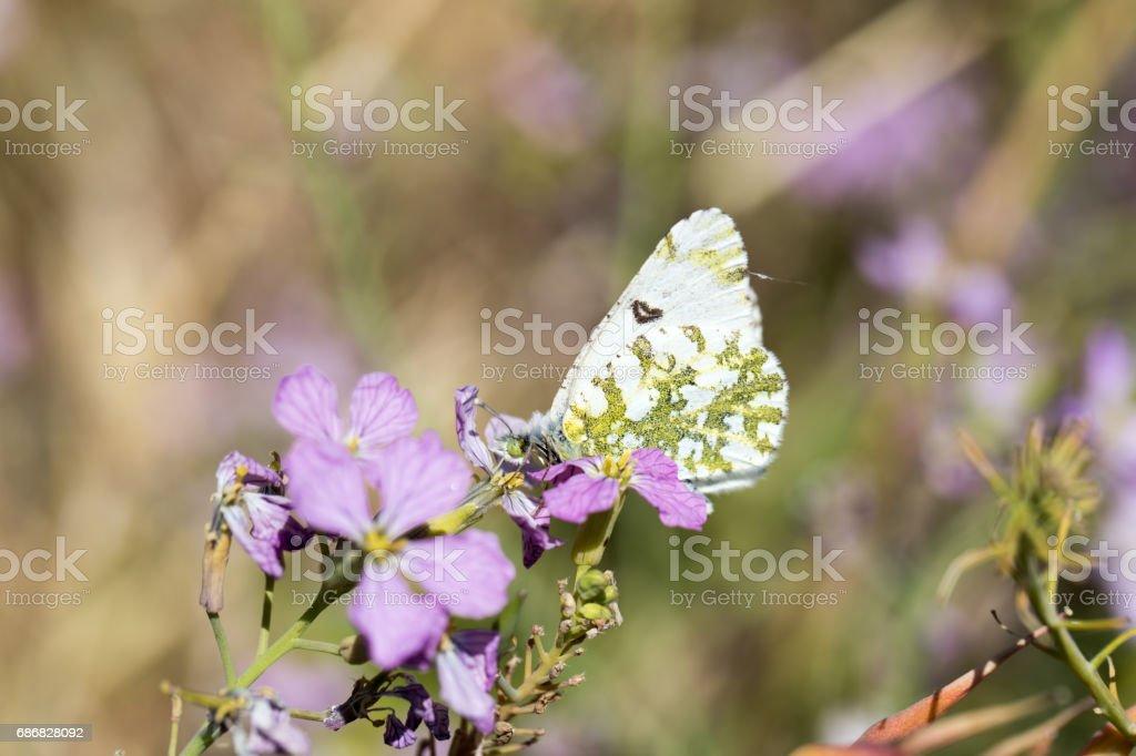 Large Marble - Euchloe ausonides stock photo