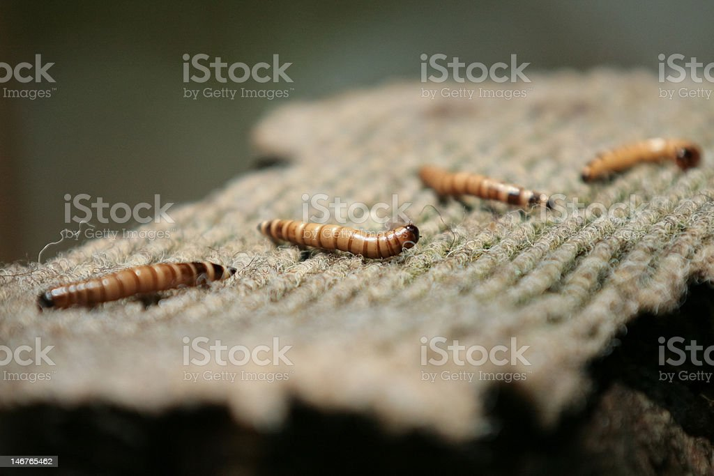 Large meal worms on a pad being fed to birds stock photo