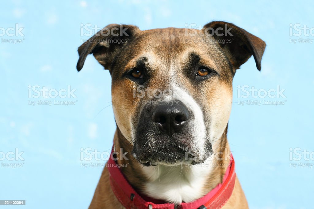 large mixed breed dog headshot of german shepherd pitbull mix stock photo