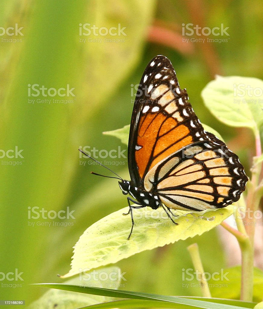 Large Monarch royalty-free stock photo