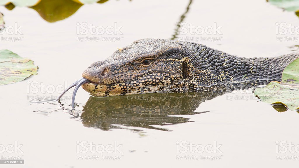 Large monitor lizard in canal stock photo