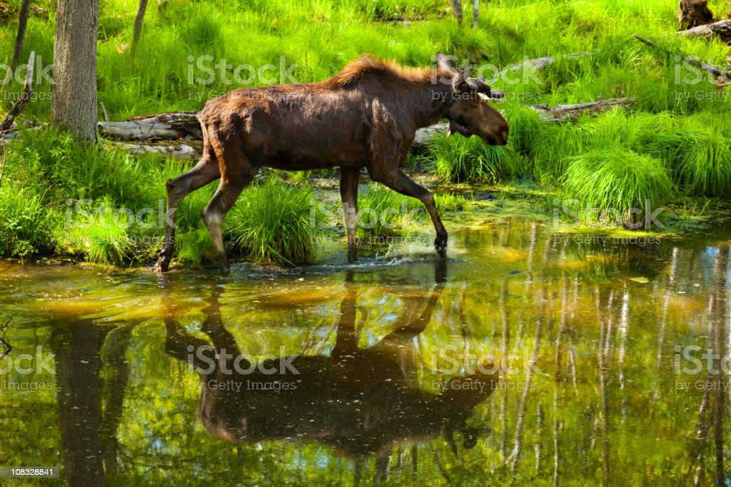Large Moose Crossing Forest Stream, Reflection in Water royalty-free stock photo