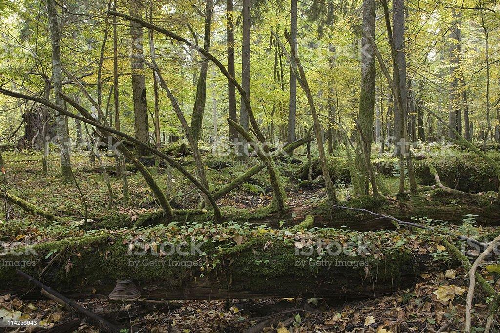 Large moss wrapped tree lying stock photo