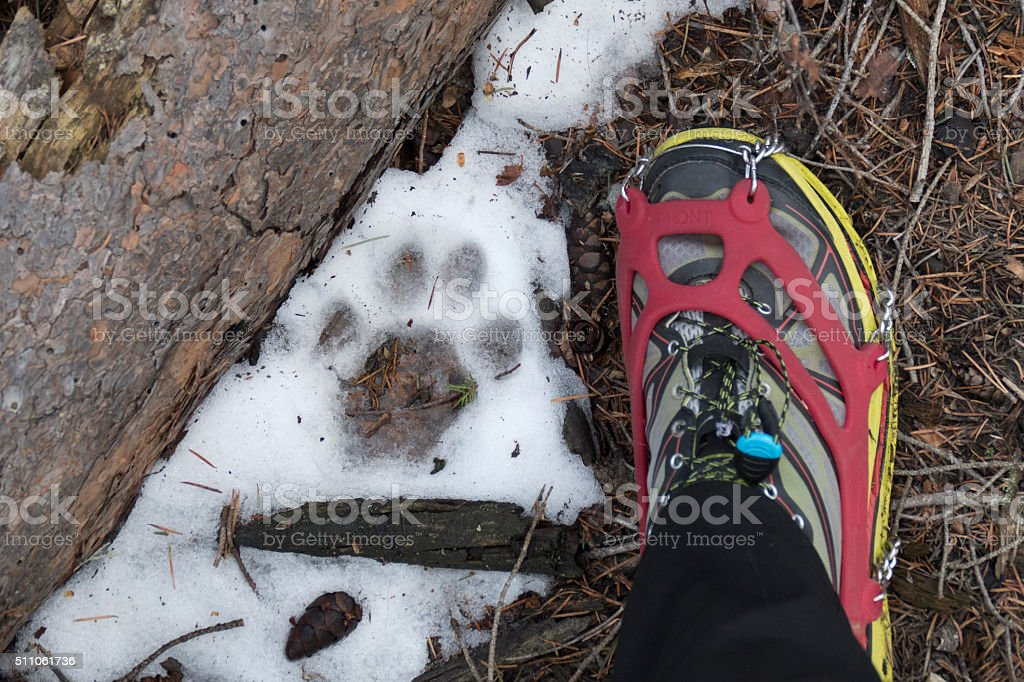 Large mountain lion track and human foot in snow Colorado stock photo