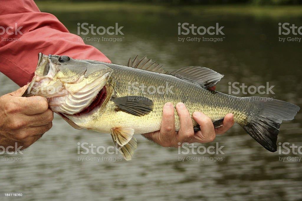 Large Mouth Bass stock photo