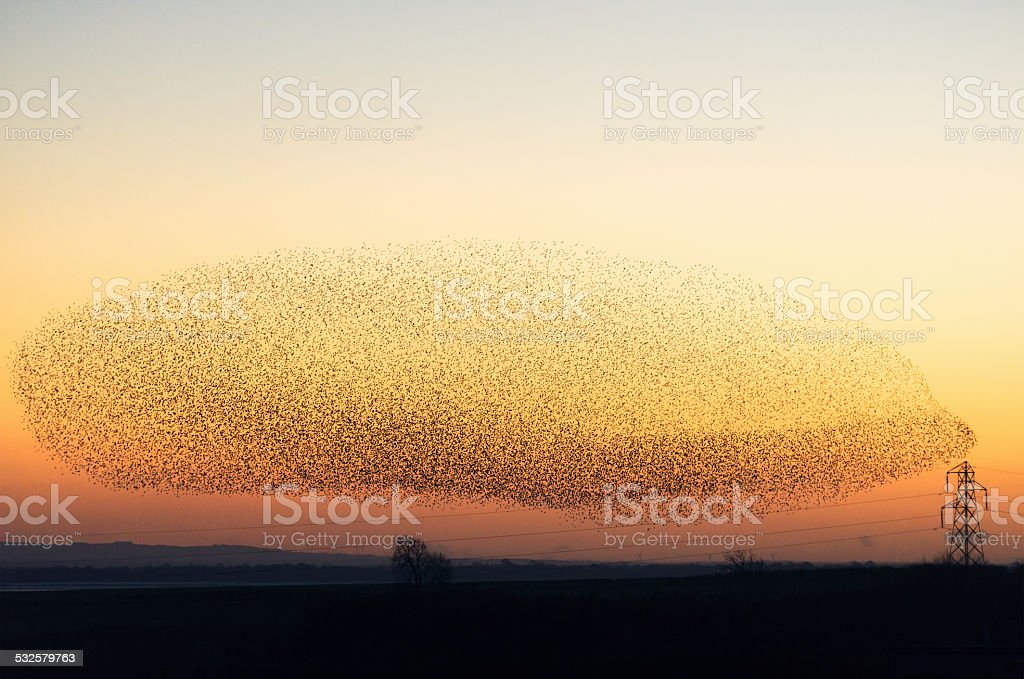 Large murmuration of starlings at dusk stock photo
