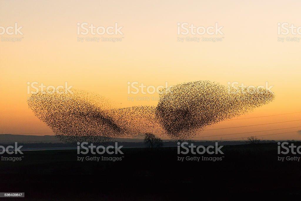 Large murmuration of starlings at dusk stock photo