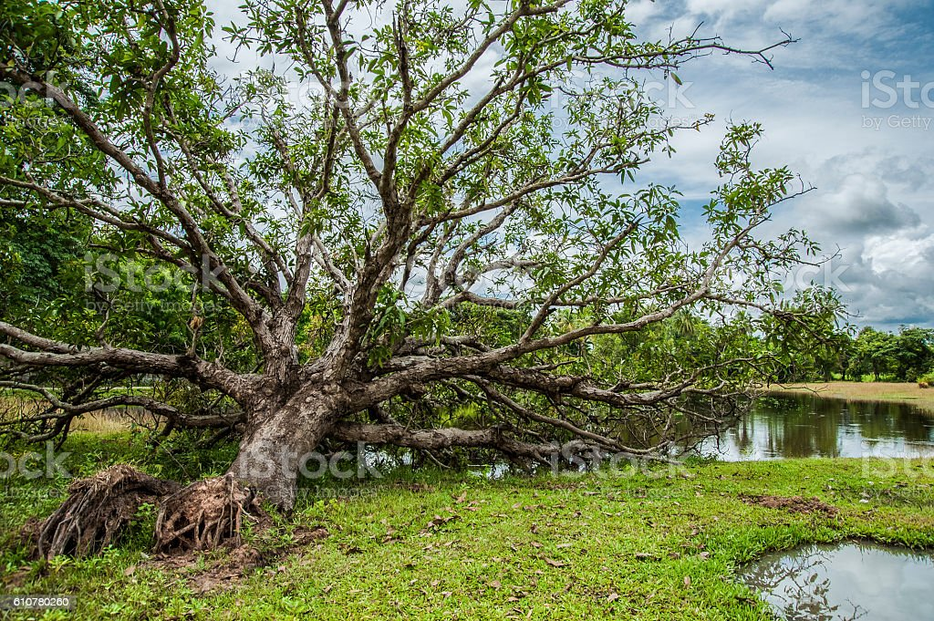 Large native tree blown down in tropical storm, due to stock photo