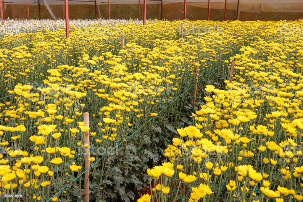 Large number of chrysanthemum plants with lots of buds and flowers in greenhouse stock photo