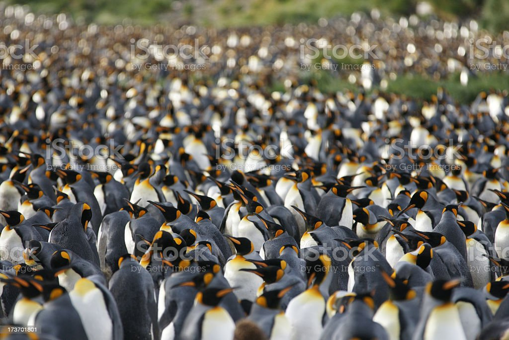 Large number of King Penguins in South Georgia stock photo