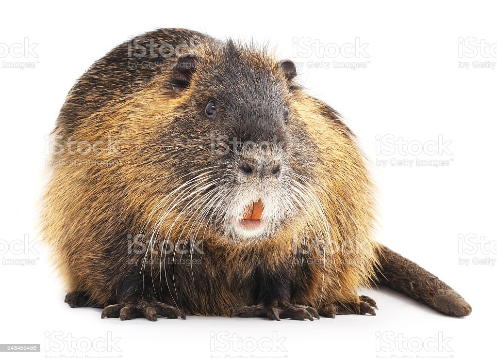 Large nutria. stock photo