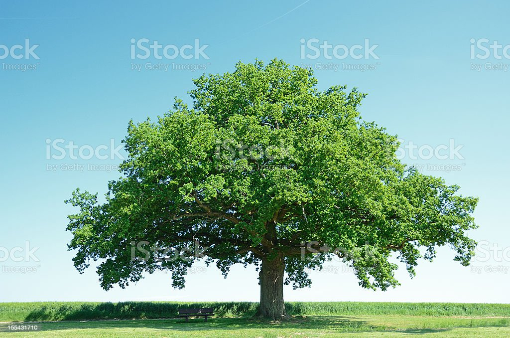Large oak tree in a green barley field stock photo
