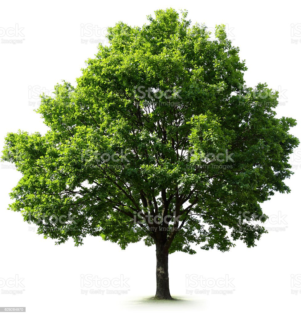 Large Oak Tree stock photo