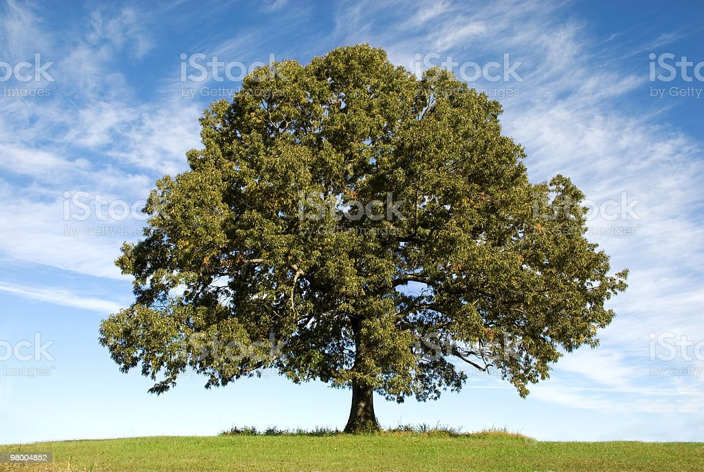 Large Oak Tree with Blue Sky stock photo