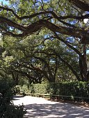 large oak trees in New Orleans