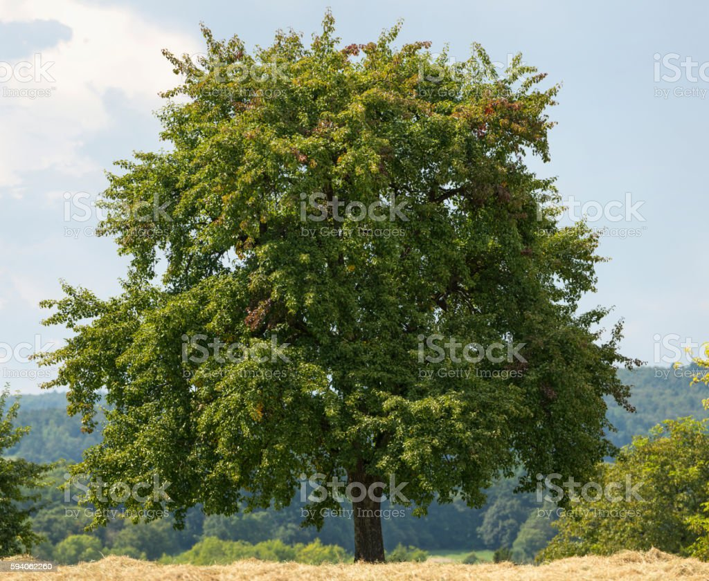Large old pear tree stands along a harvested hay-field. stock photo