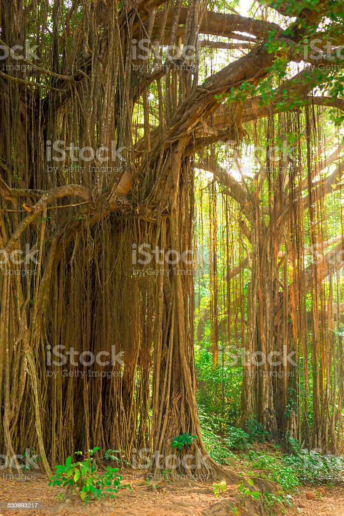 large old trees overgrown with lianas stock photo