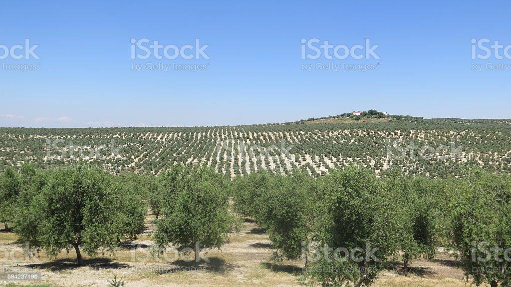 Large Olive Grove stock photo
