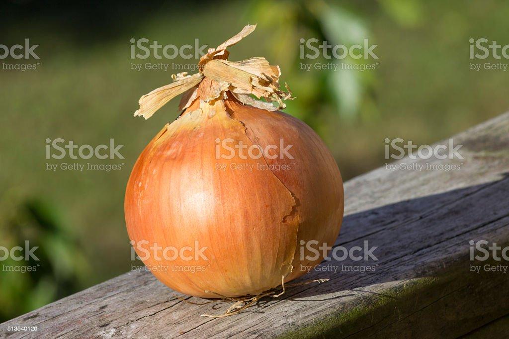 large onion on wooden rail stock photo