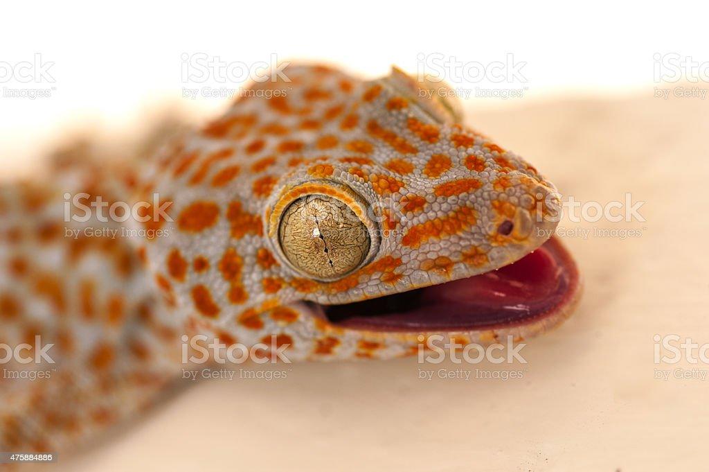 Large orange and blue gecko stock photo