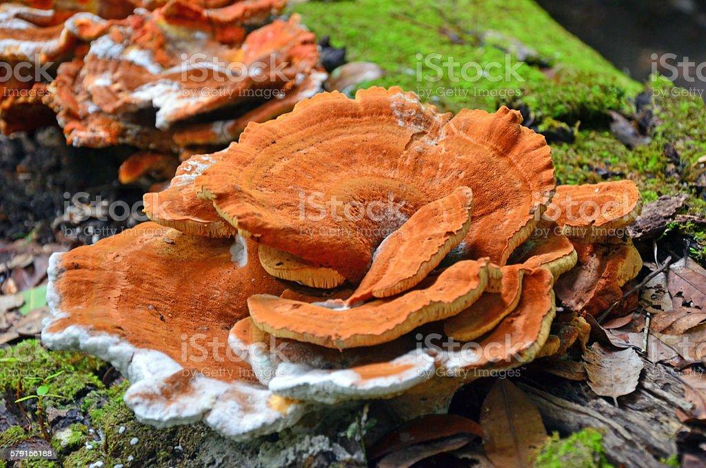 Large orange shelf (bracket) fungus stock photo