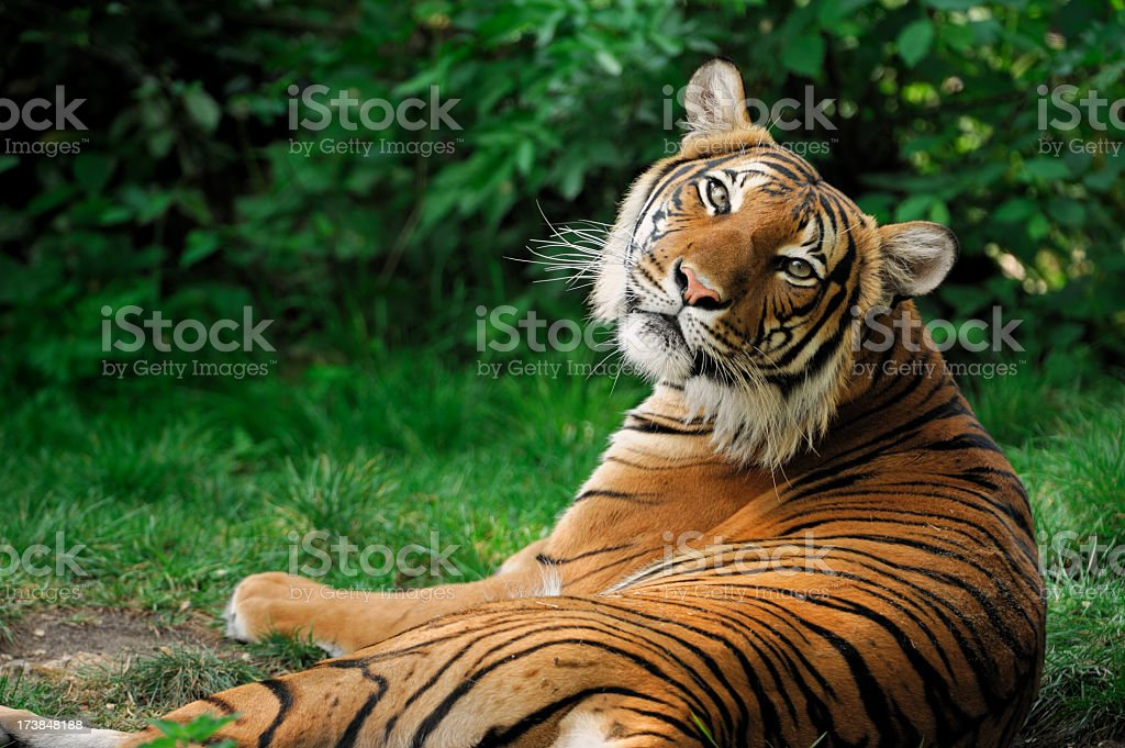 A large orange tiger lying in a grass  stock photo