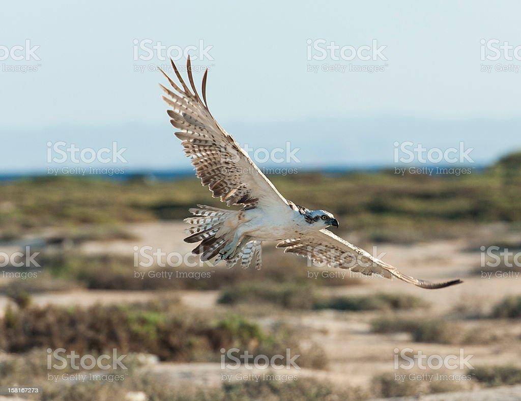 Large osprey bird in flight royalty-free stock photo