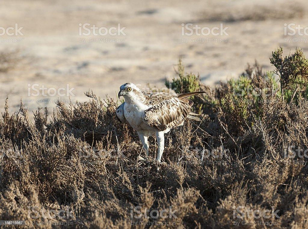 Large osprey bird stood in bushes royalty-free stock photo