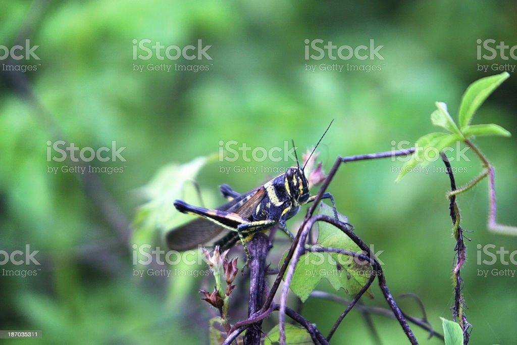 Large Painted Locust - Santa Cruz Island, Galapagos stock photo