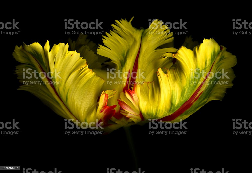 XXXL: Large parrot tulip isolated against a black background stock photo