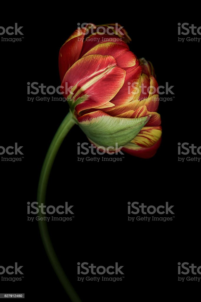 Large parrot tulip isolated against a black background stock photo