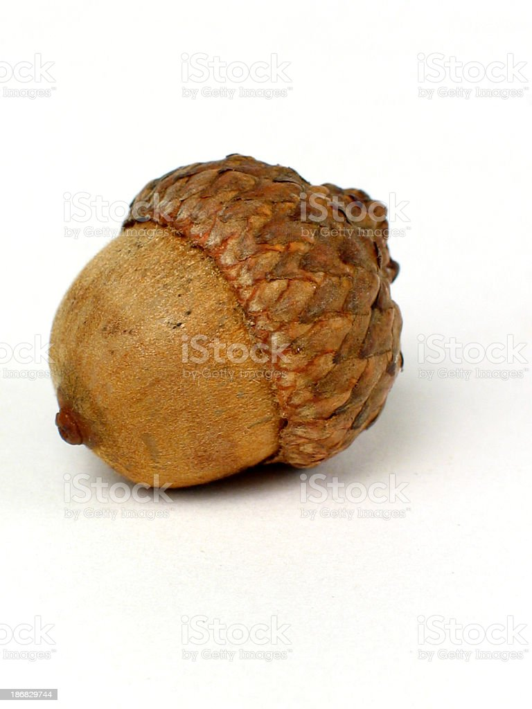 Large picture of an acorn on white background stock photo