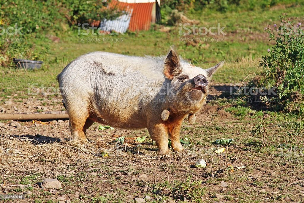 large pig in field stock photo