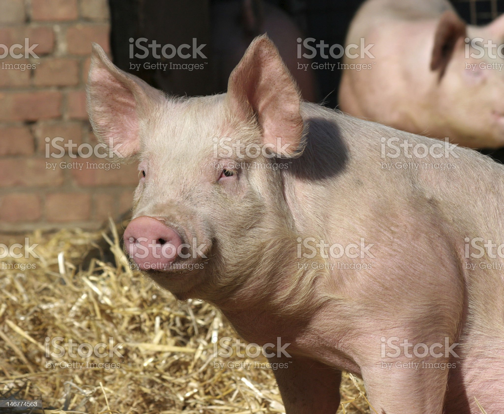 Large pig on a farm with hay in background royalty-free stock photo