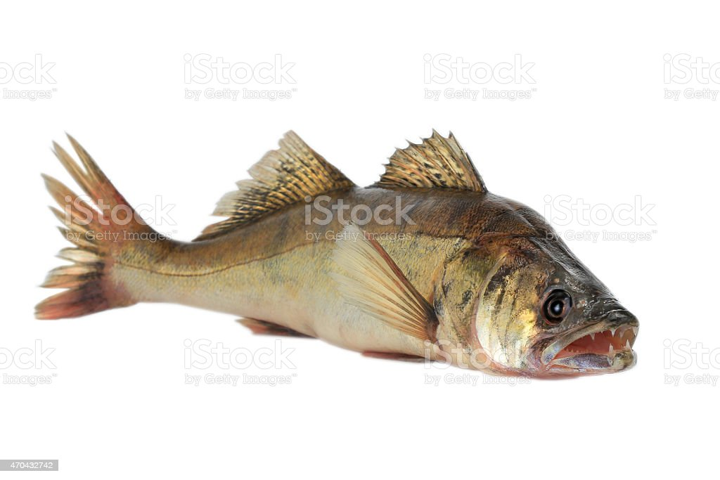 Large pike perch stock photo