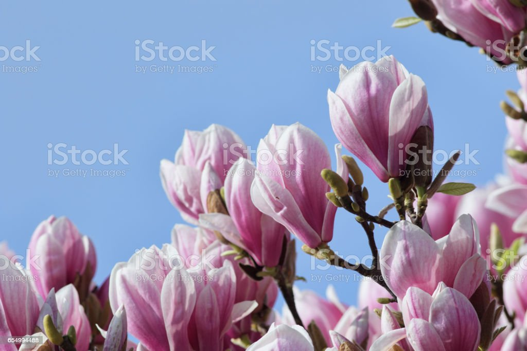 Large pink blossom spectacular Magnolia X soulangeana in spring stock photo