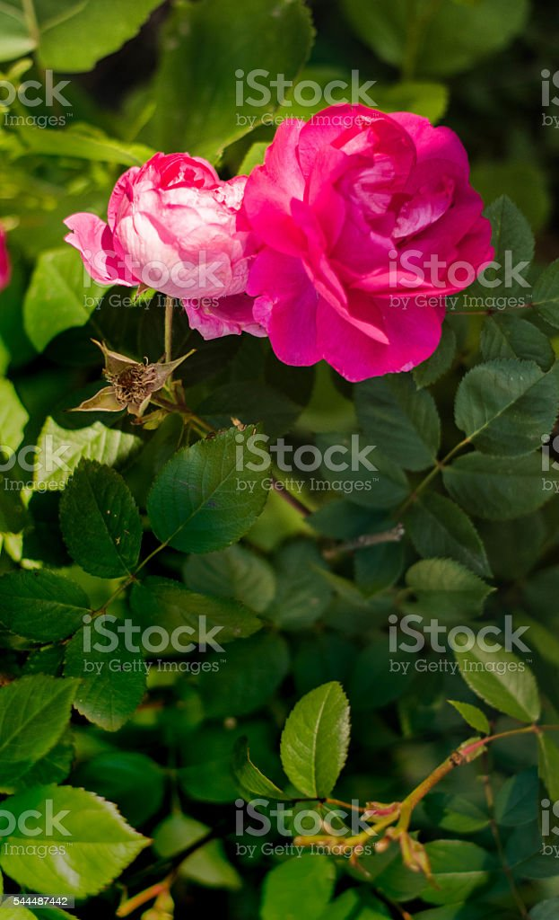 Large pink flower at top stock photo