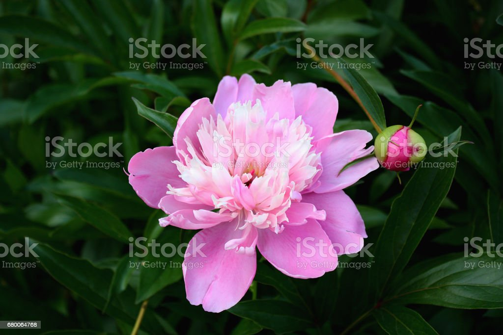 Large pink peony flower on floral background. stock photo