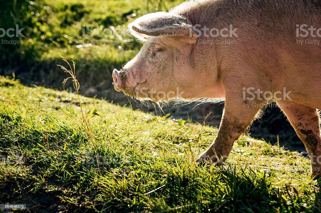 Large, pink pig stock photo