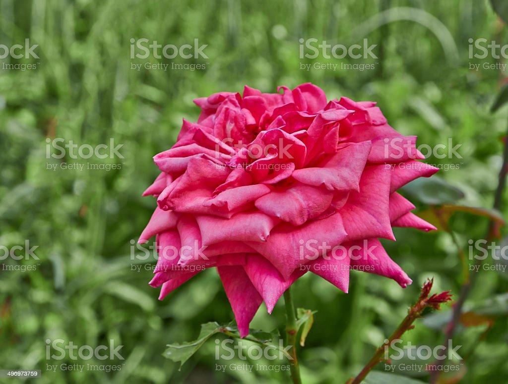 large pink rose royalty-free stock photo