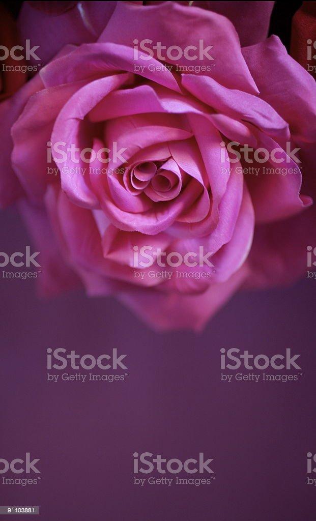 Large pink rose stock photo