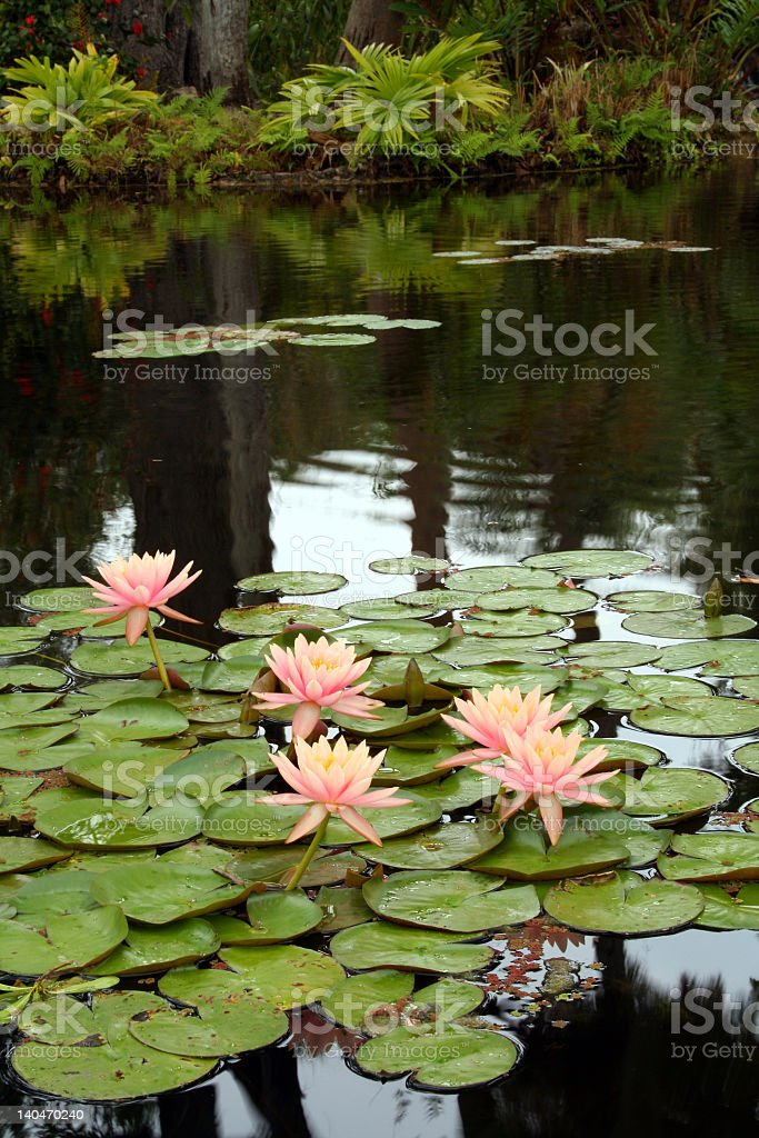 Large Pink Water Lilies royalty-free stock photo